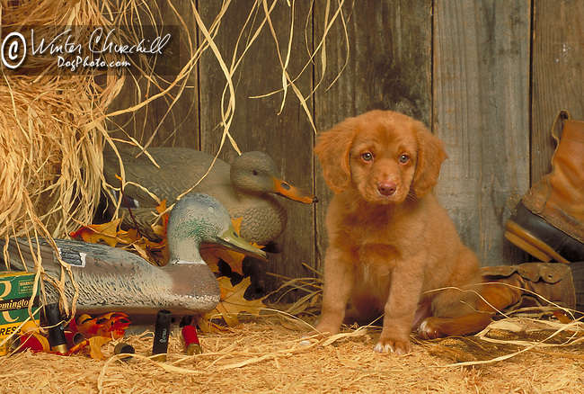 Nova  Scotia Duck Tolling Retriever<br /> <br /> Shopping cart has 3 Tabs:<br /> <br /> 1) Rights-Managed downloads for Commercial Use<br /> <br /> 2) Print sizes from wallet to 20x30<br /> <br /> 3) Merchandise items like T-shirts and refrigerator magnets