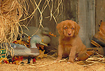 Nova  Scotia Duck Tolling Retriever<br />