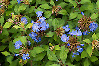 Ceratostigma willmottianum 'Forest Blue' in bloom