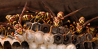 The nests of most true paper wasps are characterized by having open combs with cells for brood rearing, and a 'petiole', or constricted stalk, that anchors the nest. Paper wasps secrete a chemical which repels ants, which they spread around the base of the anchor to prevent the loss of eggs or brood.