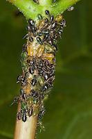 Blattläuse werden von Ameisen, Ameise gepflegt, Symbiose, Schwarze Wegameise, Mattschwarze Wegameise, Schwarze Gartenameise, Schwarzgraue Wegameise, Lasius niger, black garden ant, Common Black Ant