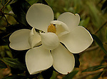 A close-up of a Southern Magnolia flower.