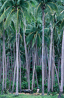 Coconut plantation in Luzon, philippines