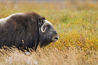 Muskox on Alaska's arctic north slope.