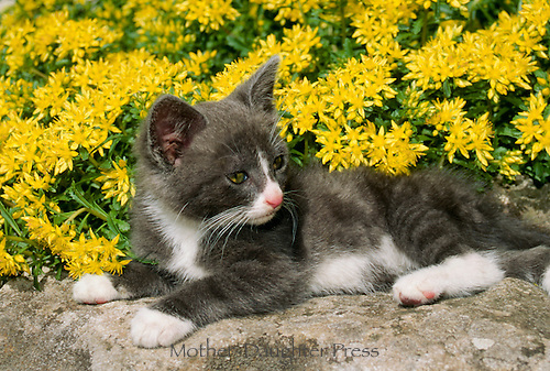 Black and White kitten lounging in rock garden with yellow succulent flowers.
