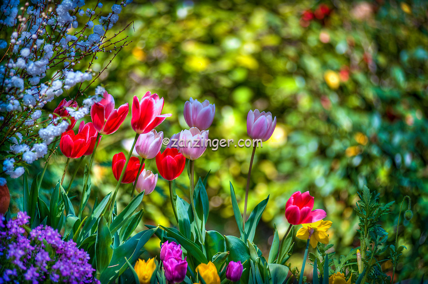 Descanso Gardens, La Canada, Flintridge, Tulips, botanic, colorful, blooming, spring, garden, horticulture, flora, botanic, colorful, blooming, spring, garden, horticulture