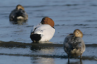 Canvasback, Aythya valisineria, male and females resting, Rockport, Texas, USA, December 2003