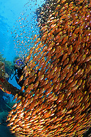 Parapriacanthus ransonneti, Schule von Glasfischen mit Taucher, japanisches Schiffswrack Schiffwrack, school of Pigmy sweeper with scuba diver, Japanese shipwreck, Amed, Bali, Indonesien, Indopazifik, Indonesia Asien, Indo-Pacific Ocean, Asia