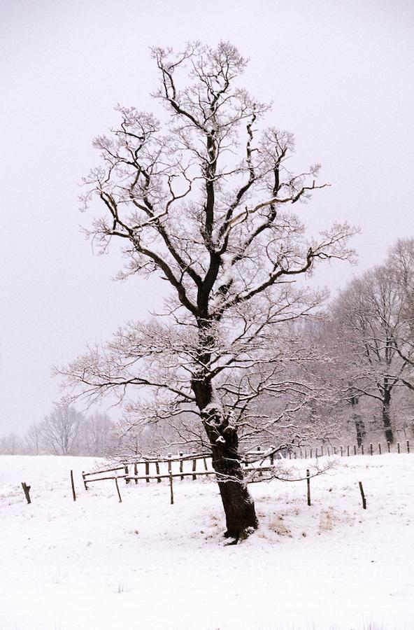 Stiel-Eiche, Stieleiche, Eiche, im Schnee im Winter, Quercus robur, English Oak, Chêne commun