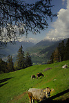 Cows in in spring meadows Kaunertal valley area, Imst district, Tyrol, Austria.
