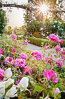 David Austin English Rose (Rosa ) 'Christopher Marlowe'; dawn light in California rose garden.