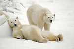 The lazy days of autumn wear on as two polar bears chill out at Hudson Bay in Wapusk National Park, Manitoba, Canada.