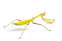 Praying mantis {Oxyopsis sp.}.  Photographed on a white background. Captive, orginating from lowland rainforest, Ecuador.