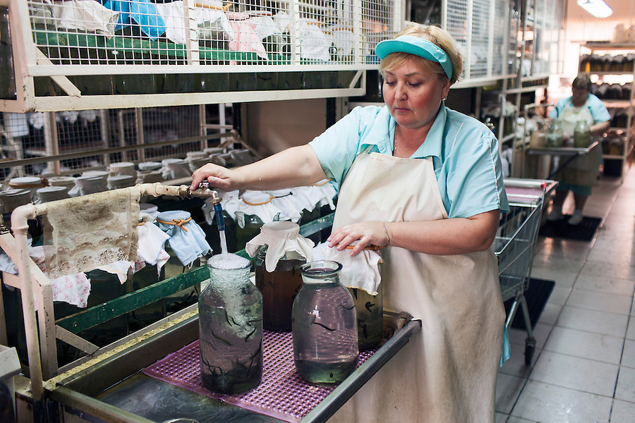 Udelnaya, Russia, 05/10/2012..Natalia Lepyoshkina changing the water the leeches live in at the International Medical Leech Centre, the largest leech farm in the world.