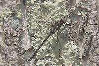 Harlequin Darner (Gomphaeschna furcillata) - Female, Harriman State Park, Stony Point, Rockland County, New York