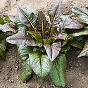 Lettuce 'Really Red Deer Tongue' ready for harvesting, end June. Seeds sown 10-11 weeks earlier.