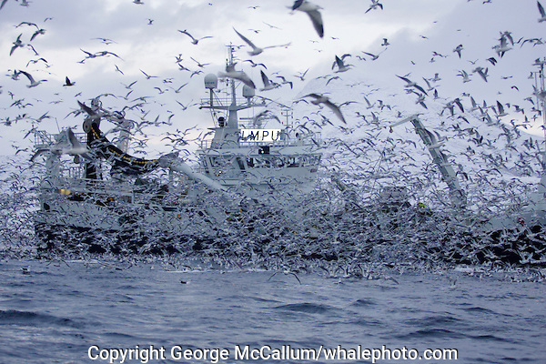 Thousands of gulls  feeding on fish scraps from deep sea herring trawler. Norwegian sea, Arctic Norway, North Atlantic