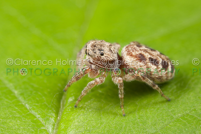 Jumping Spider (Pelegrina proterva) - Female, West Harrison, Westchester County, New York