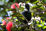 Tui, photographed on Tiritiri Matangi. Tui - known in English as the &quot;Parson Bird&quot; because of its white ruff. Spotted this on in a Pohutukawa tree on Tiri Tiri Matangi. They're quite plentiful on the island, and make lots of noise.They're clever birds, can can mimic lots of things - including humans and mobile phones - thank to their two voiceboxes! Some of the sounds they make are inaudable to humans - they're outside our spectrum of hearing. They're also quite agressive - I did see them involved in many tussles with each other as well as other species of birds on Tiritiri.....The Pohutukawa is also known as the New Zealand Christmas Tree.