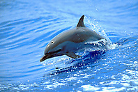 pantropical spotted dolphin calf wake-riding, Stenella attenuata, off Kona Coast, Big Island, Hawaii, Pacific Ocean