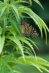 A monarch butterfly tastes a leave on a Marijuana plant in a legal grow in Jamaica,Vermont.