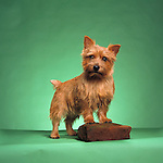 Norwich Terrier<br /> <br /> <br /> <br />  Shopping cart has 3 Tabs:<br /> <br /> 1) Rights-Managed downloads for Commercial Use<br /> <br /> 2) Print sizes from wallet to 20x30<br /> <br /> 3) Merchandise items like T-shirts and refrigerator magnets