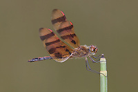 Halloween Pennant (Celithemis eponina) Dragonfly - Male, Ward Pound Ridge Reservation, Cross River, Westchester County, New York