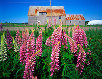 Lupine and Barn Prince Edward Island National Park, Prince Edward Island, Canada  Canadian Maritimes   Gulf of St. Lawrence  June