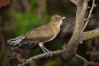 582040013 a wild clay-colored thrush tropical songbird turdus grayi preens after bathing at the valley nature center in weslaco rio grande valley texas united states