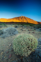 This plant is a Rosalillo de cumbre (Pterocephalus lasiospermus), and behind is the Teide volcano (the highest mountain of Spain, 3.718 m), at sunrise. Teide National Park, Tenerife Island, Canary Islands, Spain.