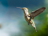 Female Ruby-Throated Hummingbird in flight with wings up