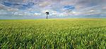 Barley field in the Moree area. NSW Region.  Australia.