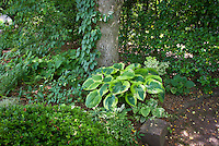 Shade garden plants, Schizophragma hydrangeoides climbing tree trunk, perennial ornamental grass Carex oshimensis Evergold with Brunnera, Aquilegia, Convallaria lily of the valley foliage, hellebores, buxus boxwood, variegated hosta, epimedium, for mix of ground covering under trees