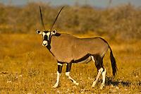 Oryx, Etosha National Park, Namibia