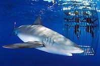 divers and Galapagos shark, .Carcharhinus galapagensis, .North Shore, Oahu, Hawaii (Pacific)