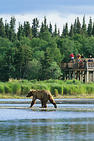 Coastal brown bear walks across the Brooks river while tourists watch from a top of a bear observatory deck, Katmai National Park, Alaska.