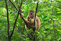 Black-and-Gold Howler Monkey (Alouatta caraya), Brazil