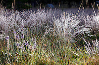Deschampsia cespitosa, tufted hairgrass, California native grass in Sierra meadow with early morning dew.