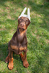 Red Doberman Puppy with his ears taped