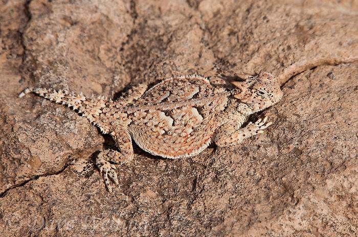 Phrynosoma platyrhinos calidiarum - Southern Desert Horned Lizard