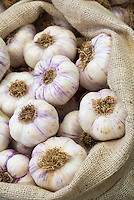 Garlic Allium sativum Stock Photos