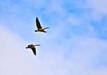 24 May 2014: A pair of Canada Geese fly overhead as the Vermont High Schools compete in the first day of the VYUL State Ultimate Disk Championships at the Tree Farm Recreational Facility in Essex Junction, Vermont. Mandatory Credit: Ed Wolfstein Photo
