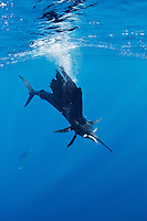 RG41103-D. Atlantic Sailfish (Istiophorus albicans) feeding on Spanish sardines (Sardinella aurita). Gulf of Mexico, Mexico, Caribbean Sea.<br /> Photo Copyright &copy; Brandon Cole. All rights reserved worldwide.  www.brandoncole.com