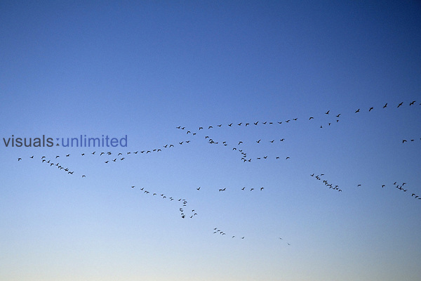 Snow Geese (Chen caerulescens) in their characteristic V-shaped flight and migration formations, North America...