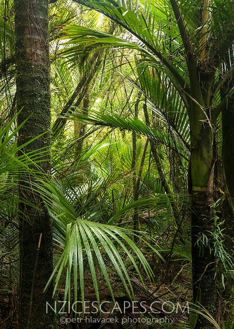 Juicy green native Nikau Palms forest near Punakaiki, Paparoa National Park, Buller Region, South Island, New Zealand, NZ