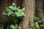 Tree House Point, Fall City, Washington; Western white trillium (Trillium ovatum var. ovatum) flowers against a large tree trunk in early morning light