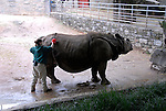 Philadelphia Zoo, rhino getting a scrub from trainer..Philadelphia, Pennsylvania, PA USA.  Photo copyright Lee Foster, 510-549-2202, lee@fostertravel.com, www.fostertravel.com. Photo 247-30839