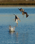 Brown Pelicans (Pelecanus occidentalis), three diving into water in pursuit of fish, Bolsa Chica Ecological Reserve, California, USA