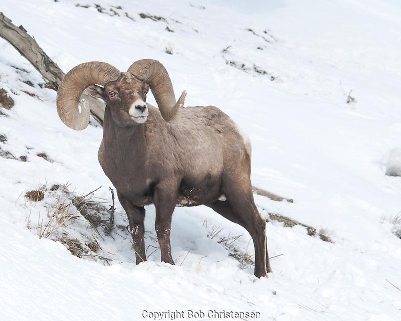 Ram Big Horn >> Bighorn Ram | Bob Christensen Photography