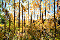 autumn (fall) colors in aspen forest in Bonanza Flats, above Park City, UT